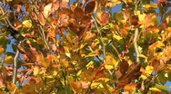 Stock Video Footage of Golden and brown autumn leaves of a tree move in a breeze.