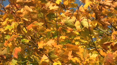 Golden autumn leaves of an acer tree move in the wind. Stock Footage