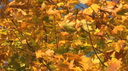 Stock Video Footage of Golden autumn leaves of an acer tree move in the wind.