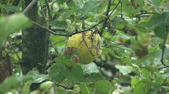 Yellow Crabapple 02 Stock Footage