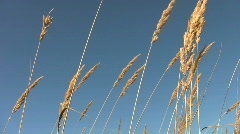 Seed heads of tall grasses blowing in the wind. Stock Footage