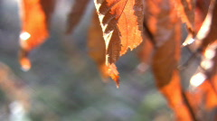Dried Brown Leaves On A Tree Branch In Winter Close Up Stock Footage