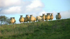 A flock of sheep look down from a ridge in a farmland field in England. - stock footage