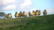 Stock Video Footage of A flock of sheep look down from a ridge in a farmland field in England.