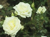White Rose in the garden (Close Up) Stock Footage