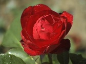 Rose in the garden (Close Up) Stock Footage