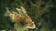 Lionfish swimming in aquarium  Stock Footage