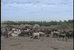 Cattle and huts Mali Stock Footage