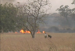 Grass fire in Burkina Fasso Stock Footage