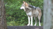 Gray Wolf alone 1 Stock Footage