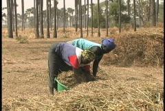 Peanut harvest Senegal Stock Footage