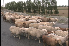 Xinjiang sheep - stock footage