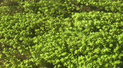 Aquatic plants in small river - stock footage