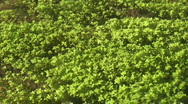 Aquatic plants in small river Stock Footage