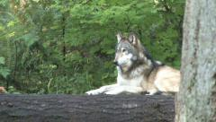 Gray Wolf 1a Stock Footage