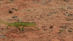 Malawi: chameleon walking in a wild 1 (part A)  - stock footage