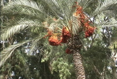 Dates on date palm  Stock Footage
