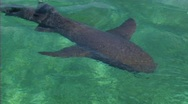 Stock Video Footage of Shark in water