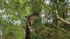 Malawi: giraffe in a wild 1  Stock Footage