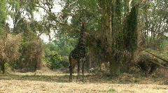 Malawi: giraffe in a wild 2  Stock Footage