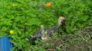 Turkey in forest Stock Footage