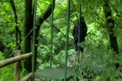 Woman walking across jungle bridge 2 Stock Footage