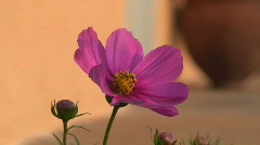 Malawi: cosmos flower 2 Stock Footage