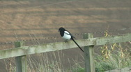 Stock Video Footage of Magpie sits on fence.