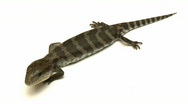 Stock Video Footage of Blue Tongue Lizard Close-Up, Low Angle, Skink