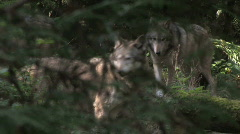 Gray Wolves  together 1 Stock Footage
