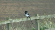 Stock Video Footage of Magpie flies from fence twanging barbed wire.