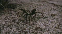Wild Tarantula 1 Mojave Desert California - stock footage