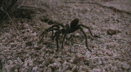 Stock Video Footage of Wild Tarantula 1