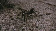 Stock Video Footage of Wild Tarantula 1 Mojave Desert California