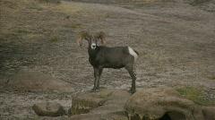 Bighorn Sheep in Joshua Tree Stock Footage