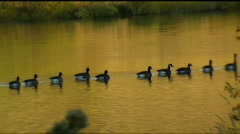 Geese swim by on golden lake Stock Footage