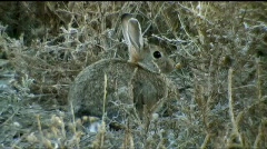 Rabbit sits alert  Stock Footage