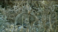 Stock Video Footage of Rabbit sits alert