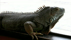Iguana relaxes in front of a window  Stock Footage