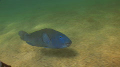 Eastern Blue Grouper Stock Footage