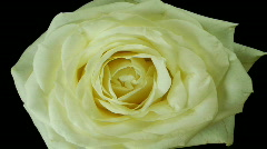 HD1080i Wilted white rose (Time Lapse) Stock Footage