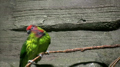 Eastern Rosella on branch Stock Footage