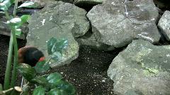 Wattled Jacana walking between rocks Stock Footage