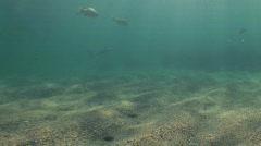 Dusk whaler Shark Stock Footage