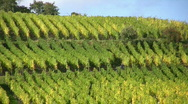 Stock Video Footage of vineyard in Alsace France