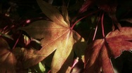 Stock Video Footage of Fall Foliage Autumn Leaves