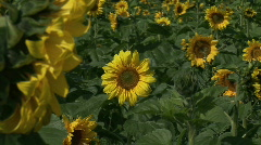 HD1080i Field of Sunflower. Stock Footage