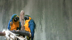 Macaw parrots cleaning themselves Stock Footage