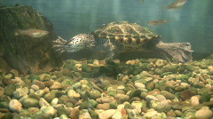 turtle swimming with fish  - stock footage