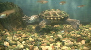 Turtle swimming with fish  Stock Footage